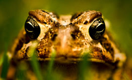 American Toad Stock Photos