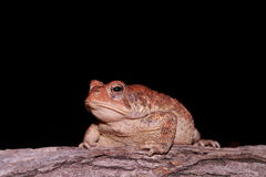 American Toad Stock Photography