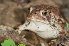 American toad (Bufo americanus). Royalty Free Stock Photo