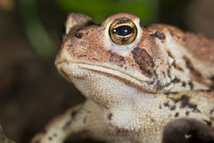American toad (Bufo americanus). Stock Photo