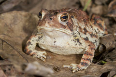 American toad (Bufo americanus). Stock Photos