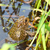 American Toad (Bufo americanus). On a warm summer day in the Midwest United States Stock Image