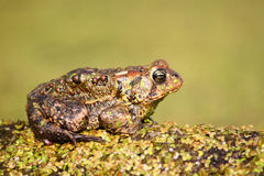 American Toad (Bufo americanus) Royalty Free Stock Photography