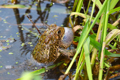 American Toad (Bufo americanus). Calling on a warm summer day in the Midwest United States Royalty Free Stock Photography