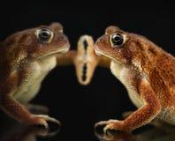 American Toad Bufo americanus Stock Image