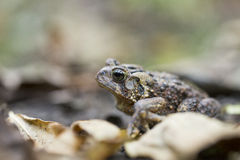 American toad Stock Image