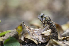 American toad Royalty Free Stock Photography