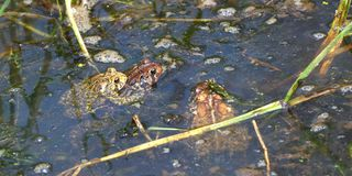 American Toad Bufo americanus. American Toads Bufo americanus mating on a warm summer day in the Midwest United States Stock Photography