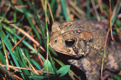 American Toad (Bufo americanus) Royalty Free Stock Photos