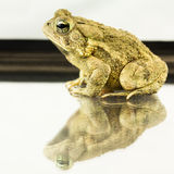 American Toad Bufo americanus Royalty Free Stock Photography