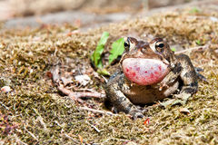 American Toad Royalty Free Stock Photos
