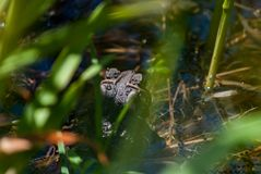 American Toad Laying Eggs under cover. Close up of an american toad, Anaxyrus americanus, Bufonidae in a ponds edge laying eggs while under the cover of some royalty free stock photography