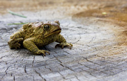 American toad on a log Stock Image