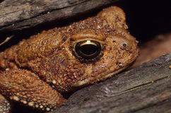 American Toad in Log Portrait. Portrait of an American Toad hiding in a log peeking out Royalty Free Stock Images