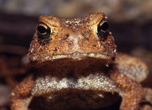 American Toad looking into lens. Humorous portrait of an American Toad looking directly into camera Royalty Free Stock Image