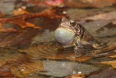 American toad Royalty Free Stock Images