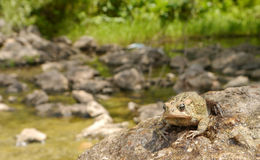 American Toad. On a rock near the pond where it reproduce Royalty Free Stock Photos