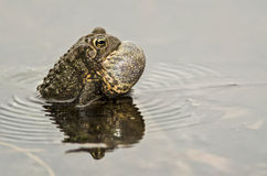 American Toad Singing Stock Photos