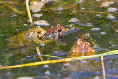 American Toads (Bufo americanus) Royalty Free Stock Photo