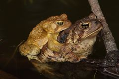 American Toads (Bufo americanus) Mating. In a pond in spring. The female is much larger than the male in this species Royalty Free Stock Photography