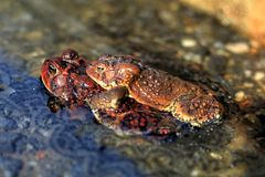 American Toads In Love Stock Photos