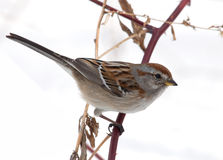 American Tree Sparrow. Photograph of an adult American Tree Sparrow perched on a wild rose branch in a winter backyard in the midwest with a snowy white Stock Photography