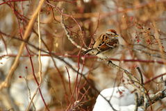 American Tree Sparrow. Male american tree sparrow perches in a tree Stock Images