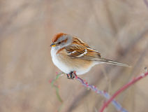 American Tree Sparrow Royalty Free Stock Image