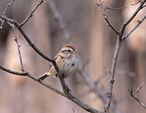 American Tree Sparrow Royalty Free Stock Images