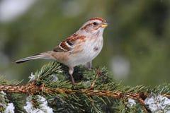 American Tree Sparrow stock photos