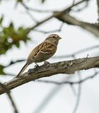 American Tree Sparrow Posing on a Branch stock photos