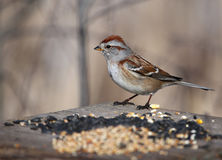 American Tree Sparrow on Bird Feeder Royalty Free Stock Image