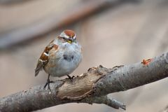 American Tree Sparrow on a branch royalty free stock photos
