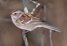 American Tree Sparrow on Branch Royalty Free Stock Images