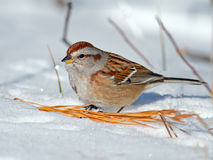 American Tree Sparrow Stock Photos