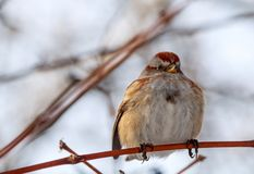 American tree sparrow perched on a branch stock photography