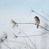 American Tree Sparrow Stock Images