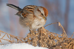 American Tree Sparrow Royalty Free Stock Photography