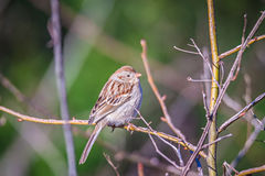 American tree sparrow perched on a tree in spring Stock Photos