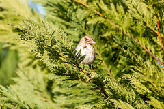 American tree sparrow perched on a tree in spring. American tree sparrow perched on a tree in  spring Stock Photo