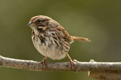 American Tree Sparrow resting Royalty Free Stock Images