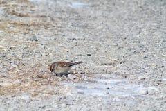 American Tree Sparrow Stock Photography