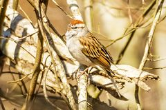 American Tree Sparrow. S are small, round-headed birds that often fluff out their feathers, making their plump bodies look even chubbier. s arefound in winter Stock Image