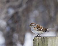 American Tree Sparrow (Spizella arborea) Royalty Free Stock Photo