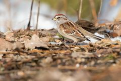 American Tree Sparrow - Spizella arborea. American Tree Sparrow standing in the leaf litter under the trees. Also known as a Winter Sparrow. Ashbridges bay Park royalty free stock images