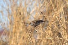 American Tree Sparrow (Spizella arborea) Stock Photo