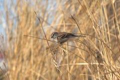 American Tree Sparrow (Spizella arborea) Royalty Free Stock Photo