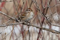 American Tree Sparrow - Spizella arborea. An American Tree Sparrow is perched on a bare branch. Also known as a winter Sparrow. Tommy Thompson Park, Toronto royalty free stock image