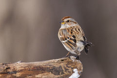 American tree sparrow Royalty Free Stock Photos