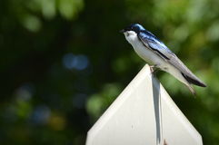 American Tree Swallow Stock Photography